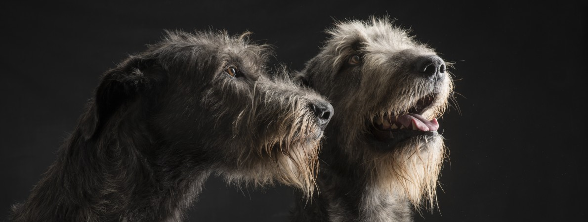 Croes Irish wolfhound head