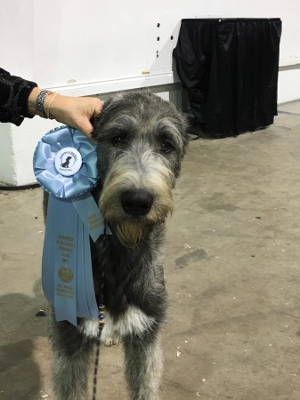 Aurora dog show Canada Castlekeep's Steel Will  got Best puppy, best of winners and  1st Puppy Group