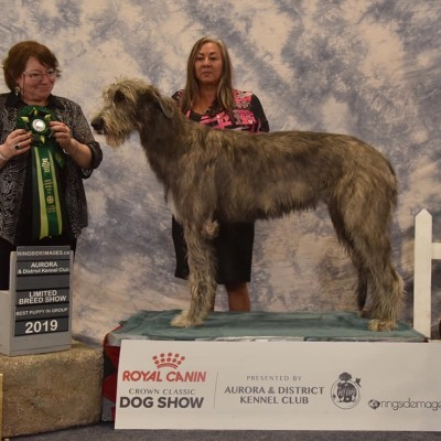 Aurora Dog Show Wire/Rough/Broken Coated Breeds Ltd Show Three Little Birds' Grooving ToThe Music Wins the Puppy Group