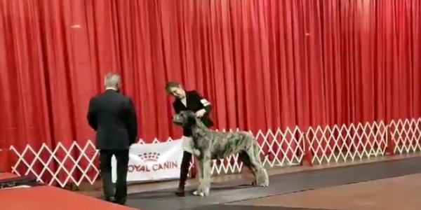 Caledon Dog Show Canada Castlekeep Steel Will  Best of Winner Best puppy