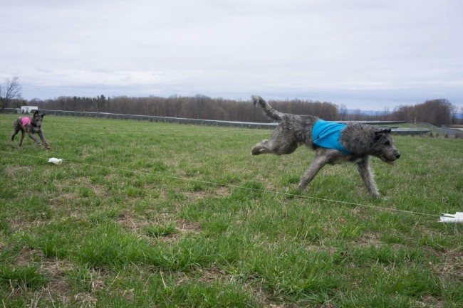 Castlekeep's Steel Will and Castlekeep's Scarlet Magnolia passed their lure coursing certs first time out.