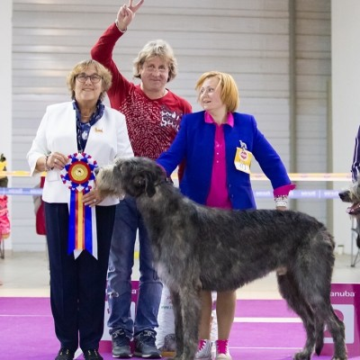 Irish Wolfhound   Specialty Russia DWARTS'VALLEY Perkons  got Exc 1st , CW, BOB, Club Winner
