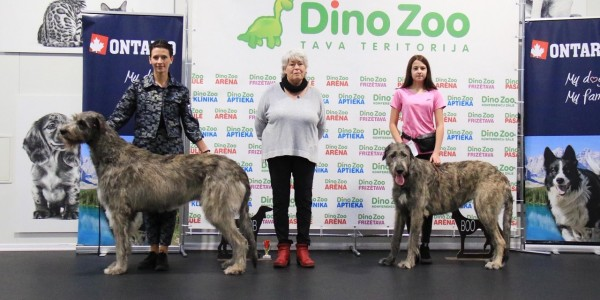 Sighthound speciality show Latvia 27.10.2019 Dwarfs Valley Pascal (Will Scarlet Dei Mangialupi x Dwarfs Valley On The Wings Of Wind) got BOB and BIS 3