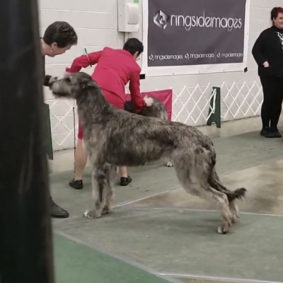 Wildwood kennel club Canada - Castlekeep's Scarlet Magnolia Friday and Saturday got  two BOB and a cut in group